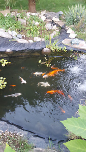 Koi all sizes and colours (need to go)