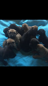 Beautiful purebred Great Dane puppies