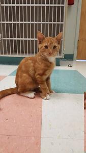 """""""Jamie"""" - Handsome Male Ginger Tuxedo Kitten"""