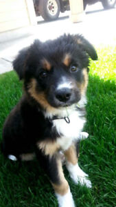 Looking for! Border Coolie mix, Malamute mix, Aussie shepard mix