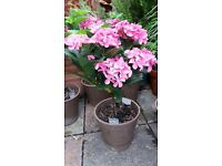 Hydrangea garden plant in terracotta pot