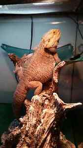 3 Year Old Male Bearded Dragon for Adoption
