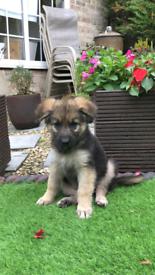 German Shepherd Dogs Puppies For Sale Page 2 3 Gumtree