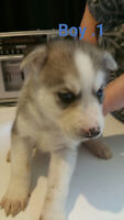 For sale (4) purebred siberian husky puppy's (4)weeks old