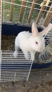 7 month old male rabbit