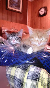 FREE almost 3 month old kittens! must go together!!