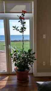 Beautiful huge hibiscus flower house plants. Edible flowers