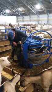 Costom hoof trimming on goats and sheep