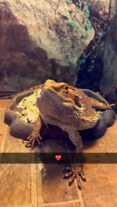 1 year old bearded dragon for sale best offer