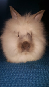 5 MONTH OLD LION HEAD FEMALE BABY BUNNY!