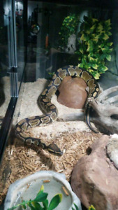 Ball python for rehoming