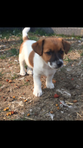 Female Jack Russell puppy for sale