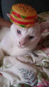 All white male cat with skyblue eyes! FREE