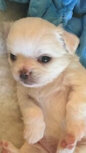 6 Purebred CKC long coat Chihuahuas pups - only 4 left