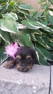 yorkipoo a vendre/ for sale spca licence 273