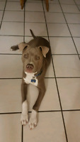 6 month pitty..intelligent and well behaved