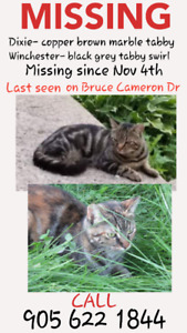 MISSING 2 MIXED TABBYS CATS