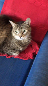 Lost cat - Male Tabby