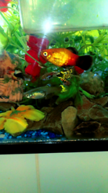 Guppy,platy,molly,shrimps,pleco,bettafish,pacu,cichlids kribensis/mida