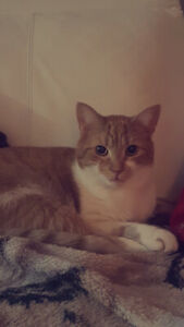 Orange Male Cat Free to a Great home!
