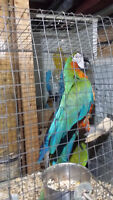 Proven pair of MACAWS (Military female/Harliquin male)
