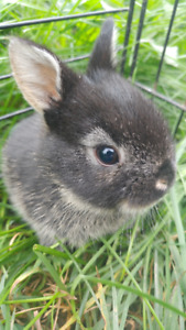 **5 WEEK OLD BABY BUNNIES!! ONLY 3 LEFT!! HAND TAME AND CALM!!**