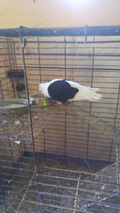 Looking for german owl pigeon