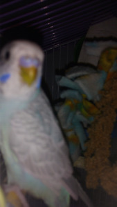 Sky blue / green / grey young  budgie