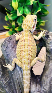 Annual sale! Baby bearded dragons