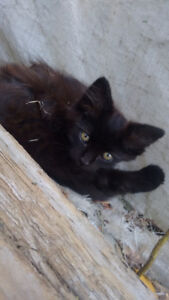 One beautiful black female kitten