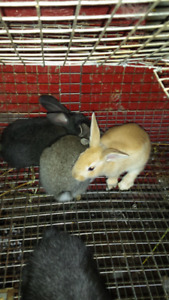 Rabbits Bunny for sale $ 5 to 10 each
