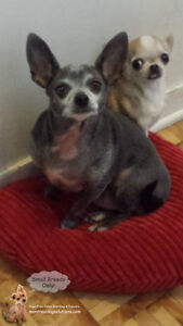 *HOLIDAYS FULL* Sleepovers for small dogs in home of trainer West Island Greater Montréal image 6
