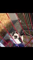 Male Rabbit not Neutered