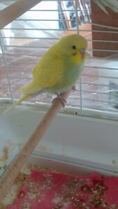 Baby Female Budgie
