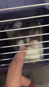 2 Rats for sale with cage
