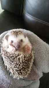 URGENT!!! Baby Hedgehog For Sale with Accessories !!!