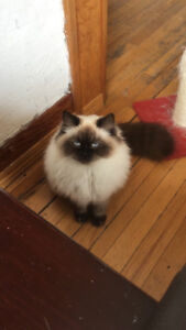 Purebred Himalayan cat for sale