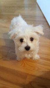Puppy for sale 3/4 Maltese 1/4 Bichon