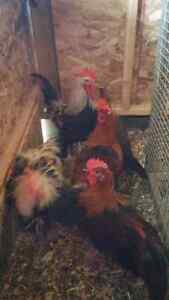 Red and silver dorking chickens Peterborough Peterborough Area image 6