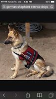 Looking for large breed to train as service dog