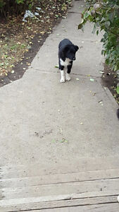 Socialized Farm raised Border Collie Pups - PRICE REDUCED