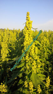 Grow Quinoa! 2016 Production Contracts Available!  Call Today!