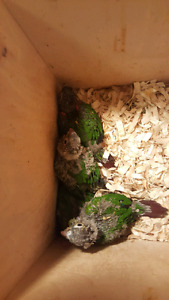 Hand fed babies of Conure ready for rehoming .