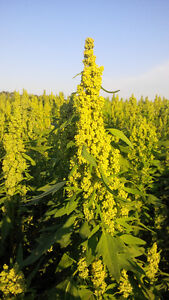 Oat or Pea Stubble?  Grow QUINOA this Spring!