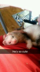 Deaf ferret with cage