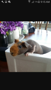 WANTED** skinny pig ** WANTED