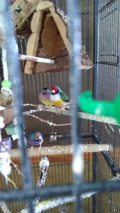 Finches and Cage