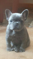 beautiful rare solid blue french bulldog puppy for sale!