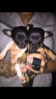 Two sweet female rat terrier/ chihuahua