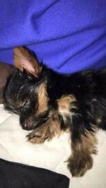 Little micro miniature Yorkshire terrier 10 weeks can been seen first vaccine done vet checked